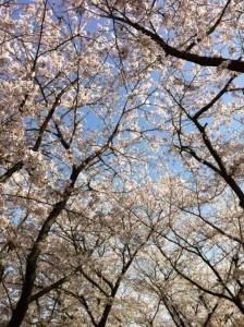 2013年の桜並木