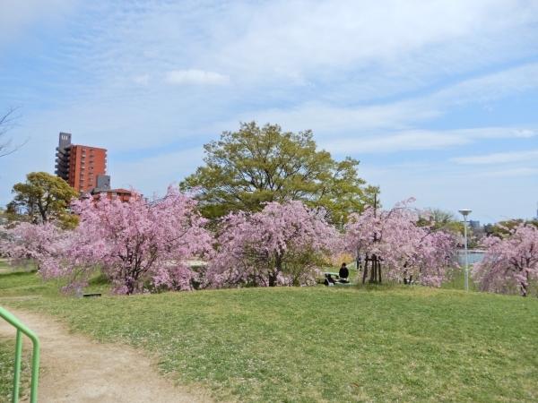 白鳥公園2017年の桜